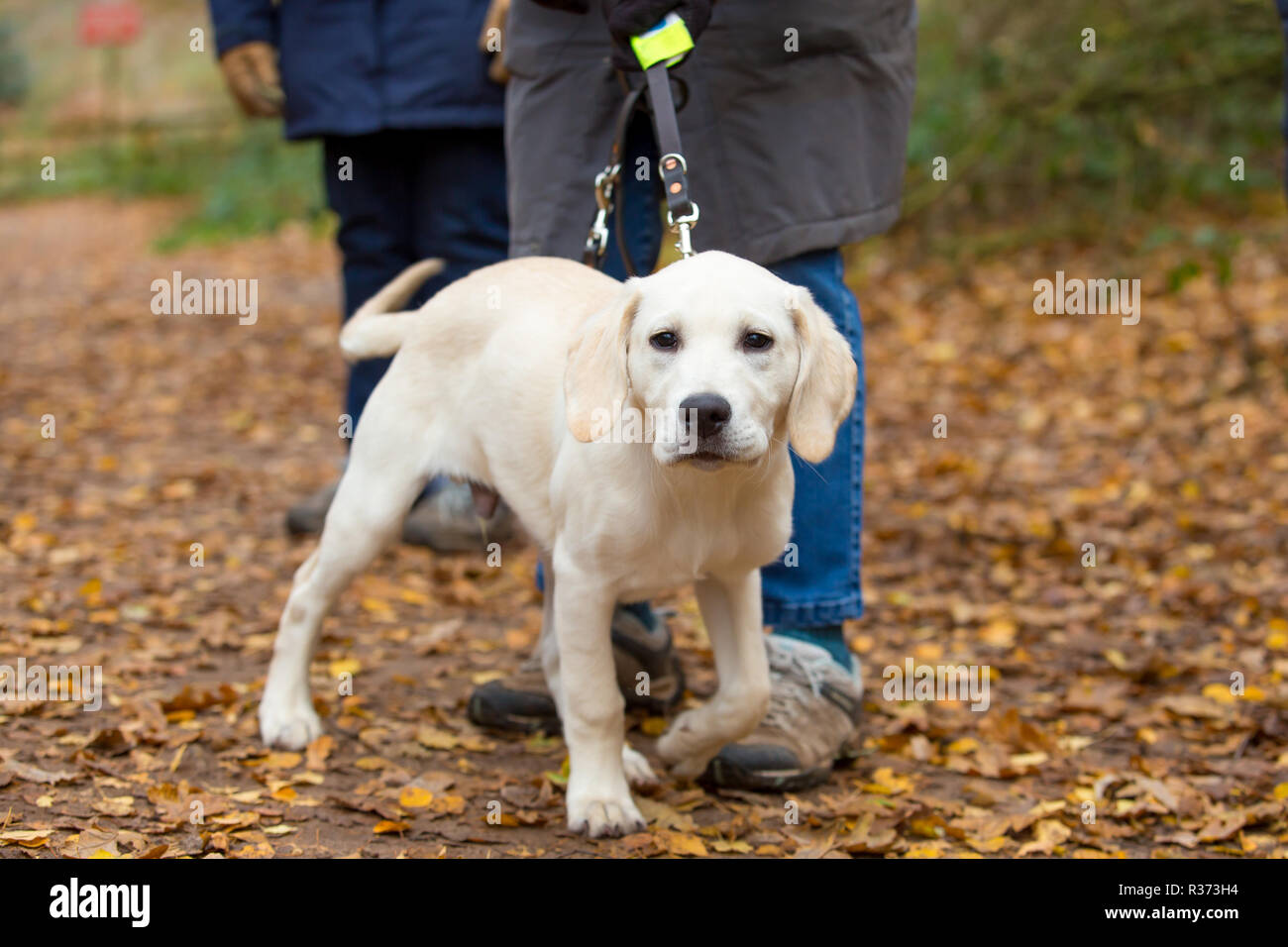 Landscape shot of one guide dog puppy in training during his walk in UK country park. Puppy walker volunteers out on obedience training in autumn. - Stock Image