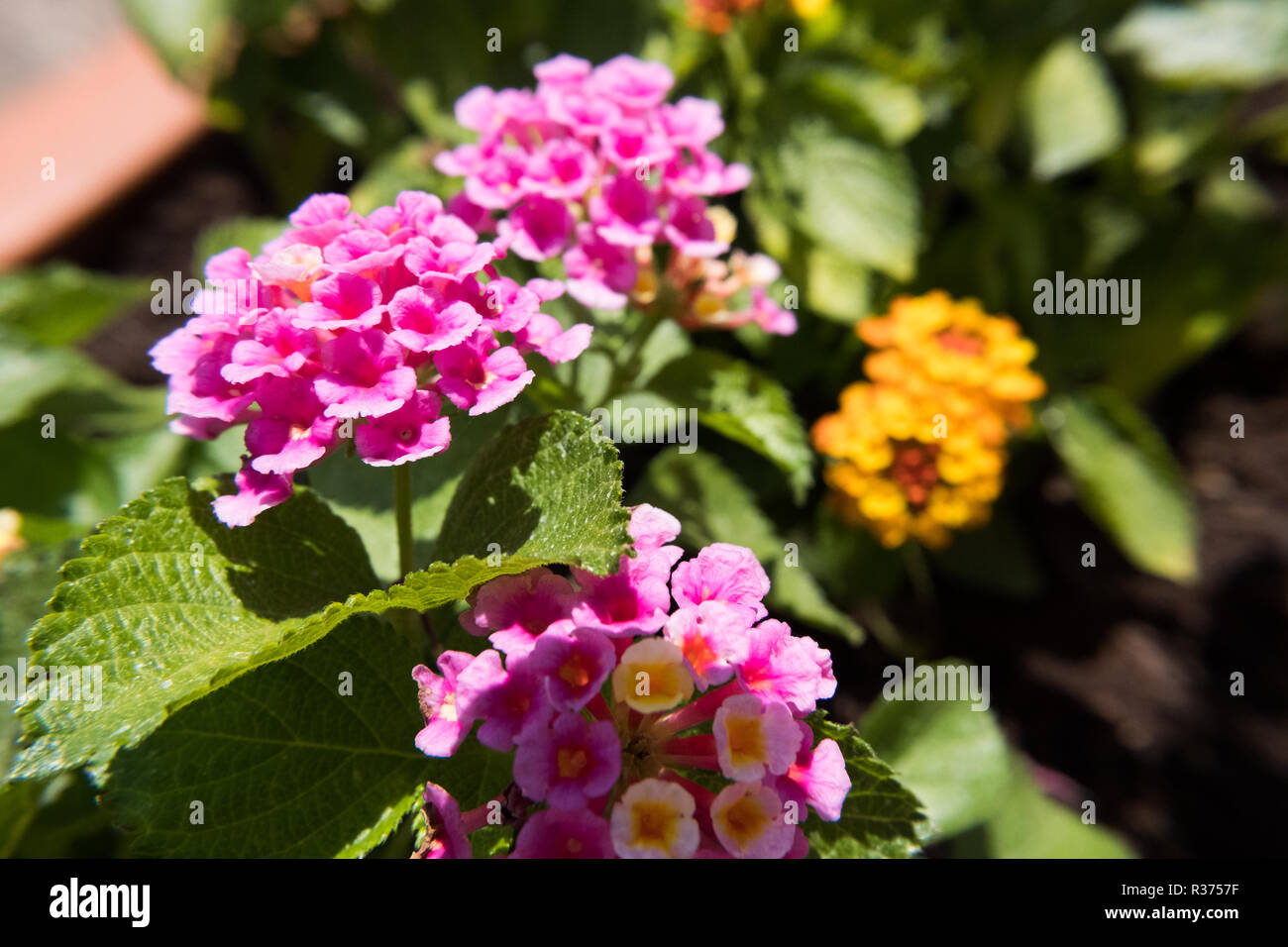 Nature wallpaper background pink Lantana Camara also known as Big-sage, Wild-sage, Hedge Flower, Weeping Lantana, Lantana Camara Linn or Tickberry. No Stock Photo