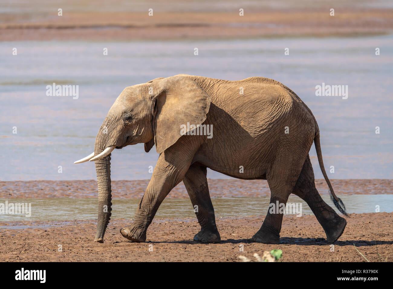 Baby African elephant (Loxodonta) in Kenya - Stock Image