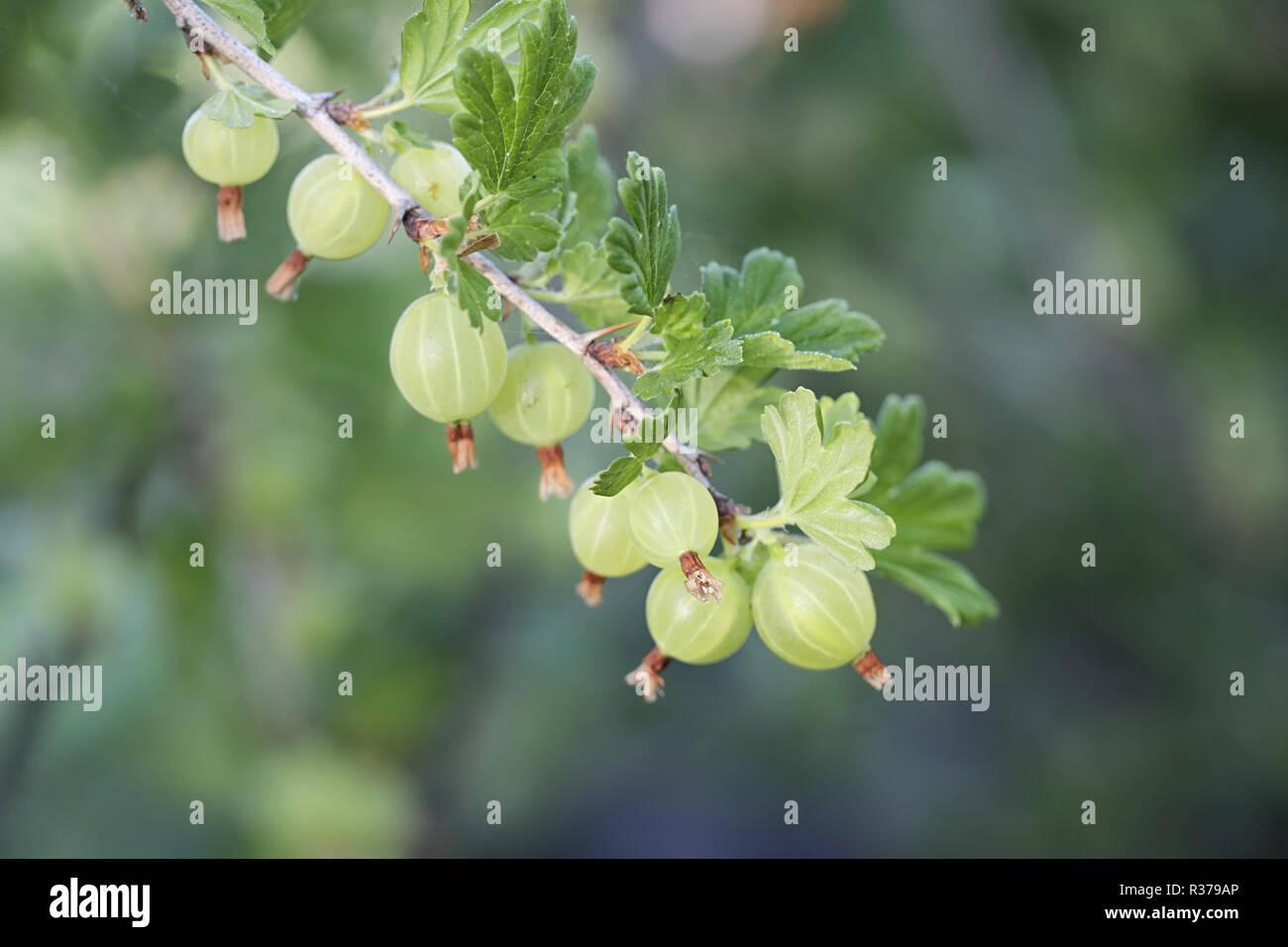 Gooseberry, Ribes uva-crispa - Stock Image