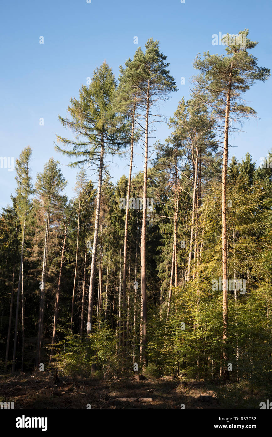 coniferous forest with high pines and spruces against the blue sky, vertical - Stock Image