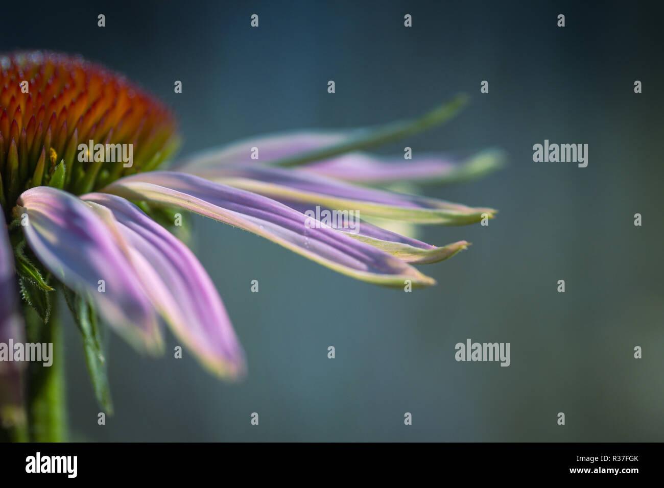 Blütenblätter vom Sonnenhut - Stock Image
