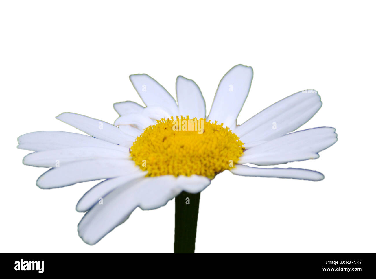 White aster flower on a neutral background - Stock Image
