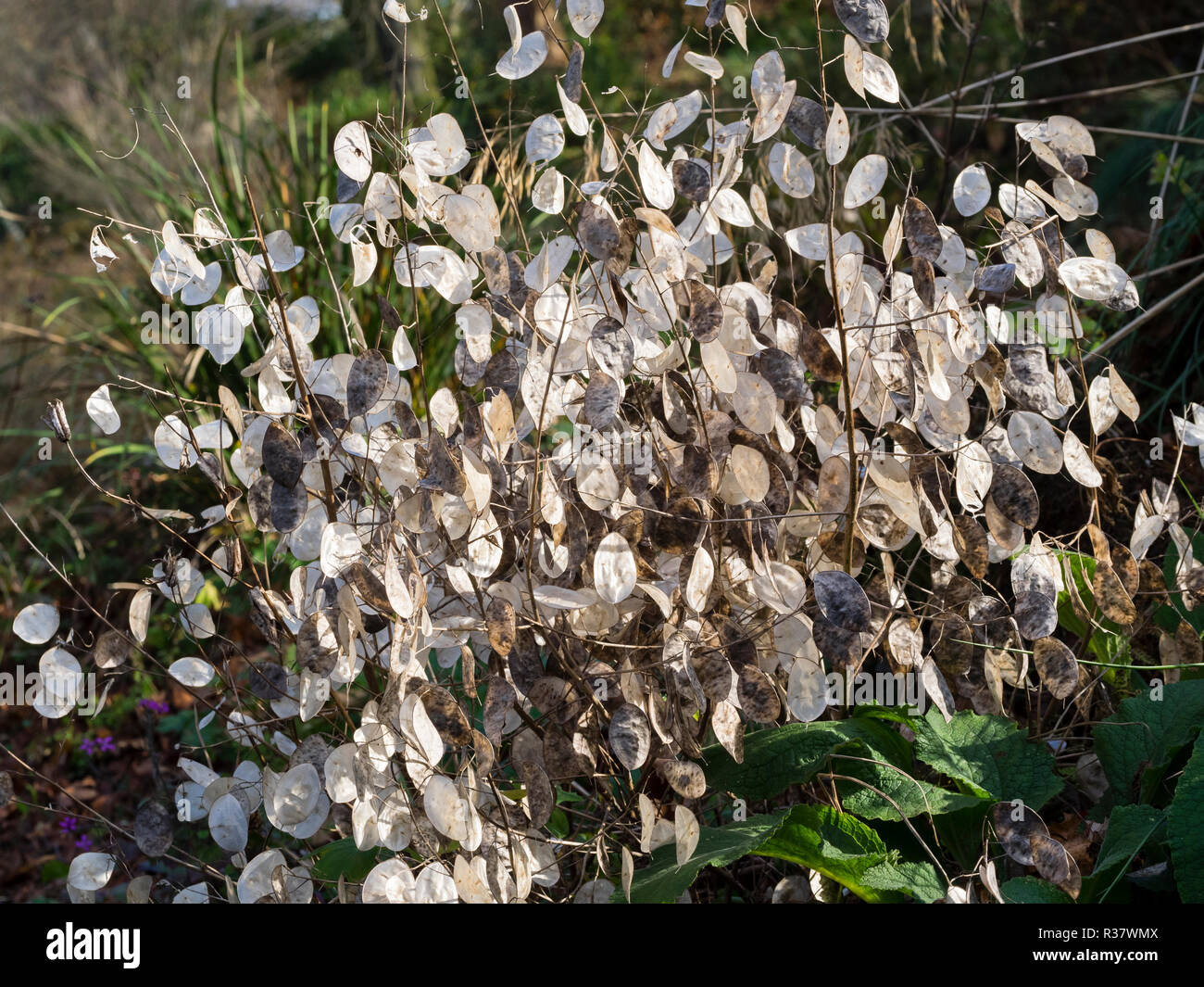 Seed pods of the annual honesty, Lunaria annua, provide autumn and winter decoration Stock Photo