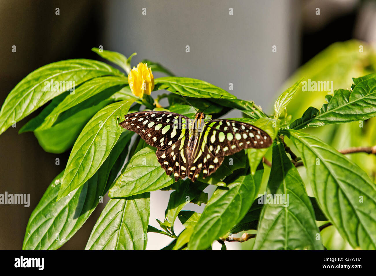 Butterfly insect or moth with black colored wings and white eyespots sitting on green plant leaves with yellow blossoming flower on sunny summer day on natural background. Beauty of nature. Wildlife - Stock Image