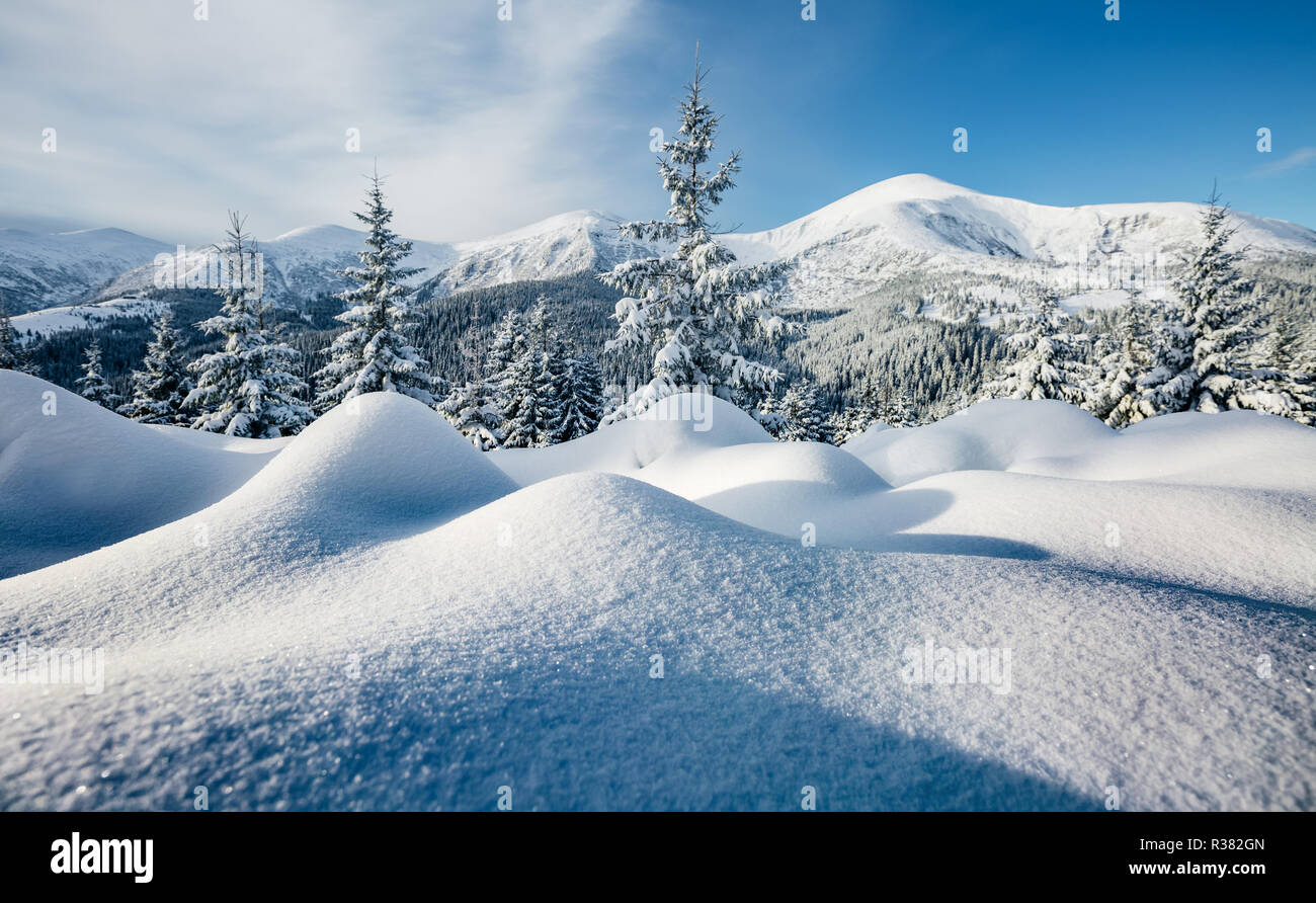 Majestic white spruces glowing by sunlight. Magic and unusual wintry scene. Location place Carpathian national park, Ukraine, Europe. Blue toning, ins - Stock Image