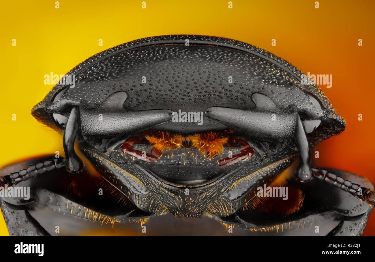 Extreme sharp and detailed photo of a stag beetle Dorcus parallelipipedus. The image is stacked from many shots into one sharp image. - Stock Image