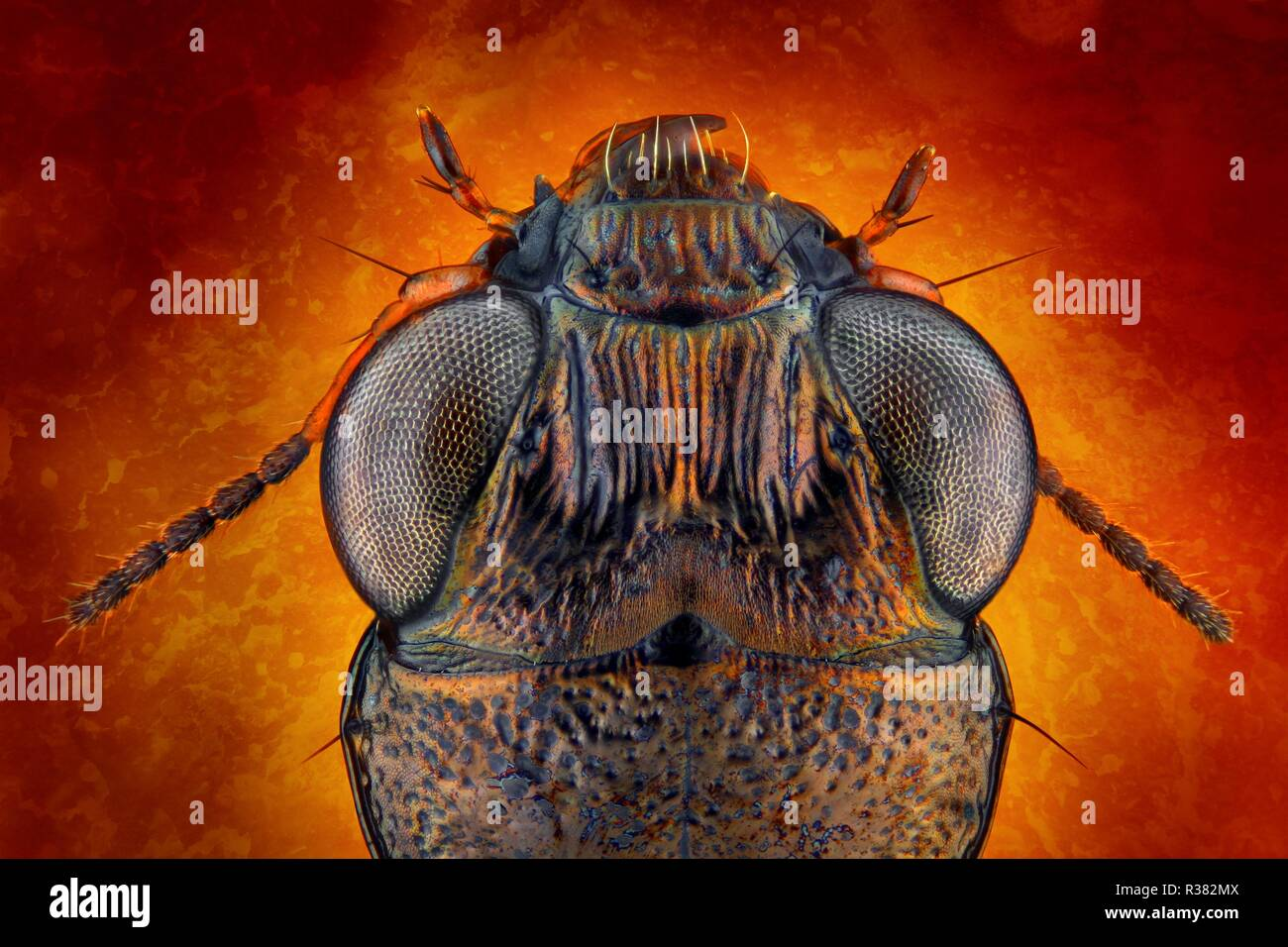 Extremely sharp and detailed study of a Notiophilus ground beetle head taken with a macro lens stacked from many images - with a fancy background. - Stock Image