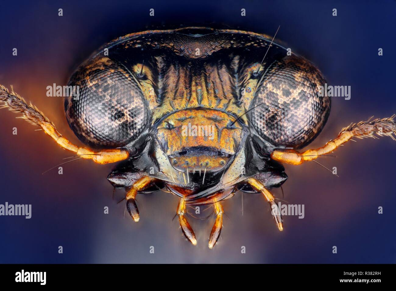 Extremely sharp and detailed study of a Notiophilus ground beetle head taken with a macro lens stacked from many images into one very sharp photo. - Stock Image