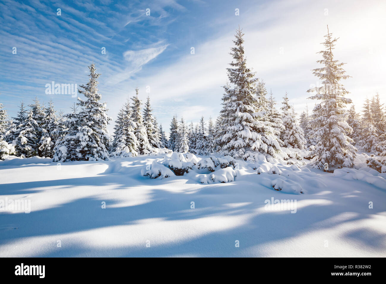 Majestic white spruces glowing by sunlight. Picturesque and gorgeous wintry scene. Location place Carpathian national park, Ukraine, Europe. Alps ski  - Stock Image