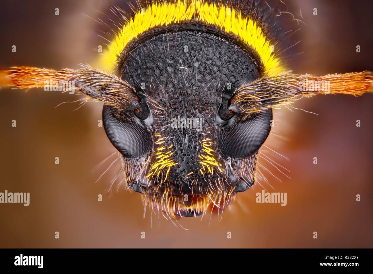 Extremely sharp and detailed study of an insect head taken with a macro lens stacked from many images into one very sharp photo. - Stock Image