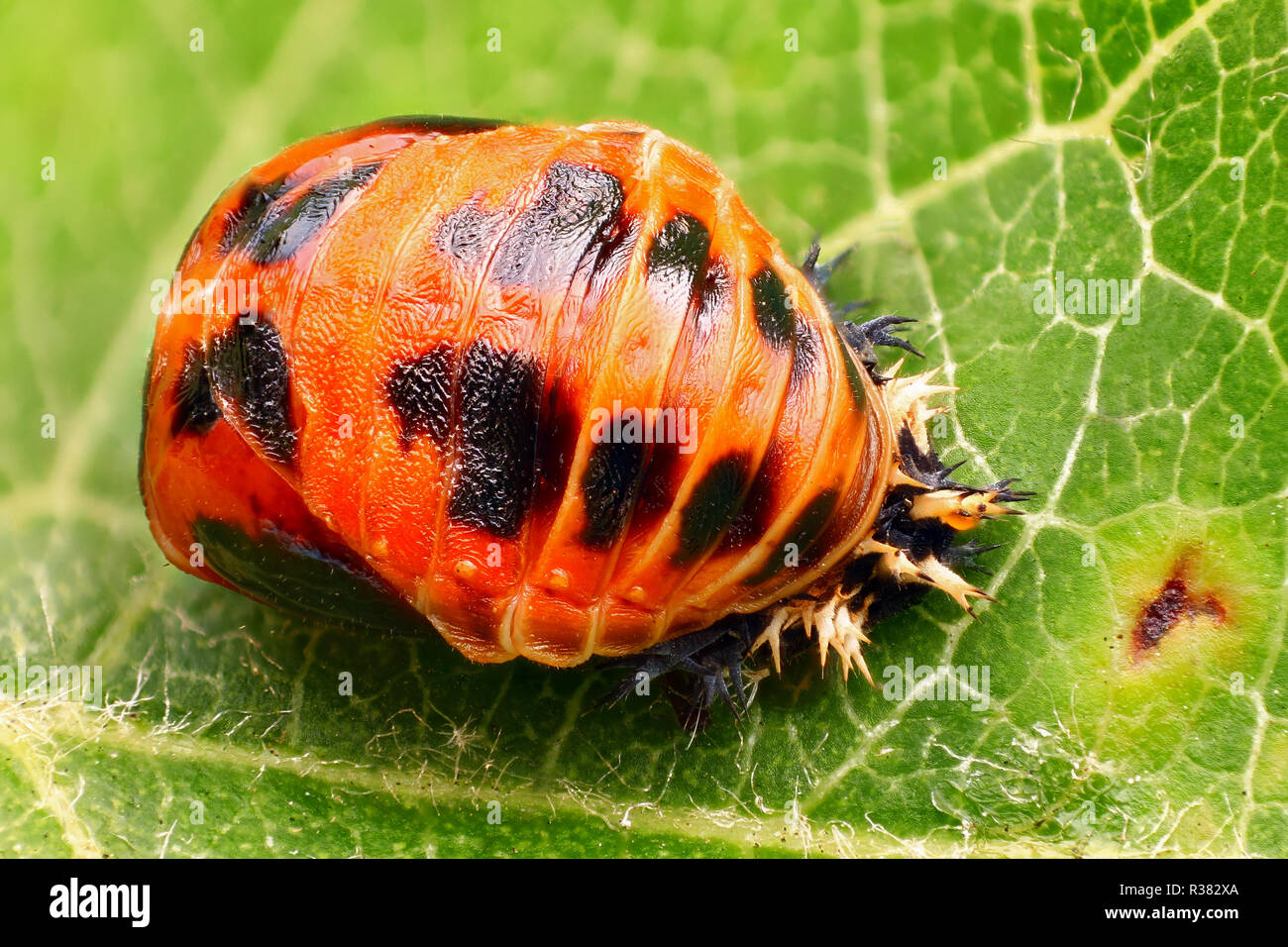 Extremely sharp and detailed study of a Harlequin ladybird pupa taken with a macro lens stacked from many images into one very sharp photo. - Stock Image
