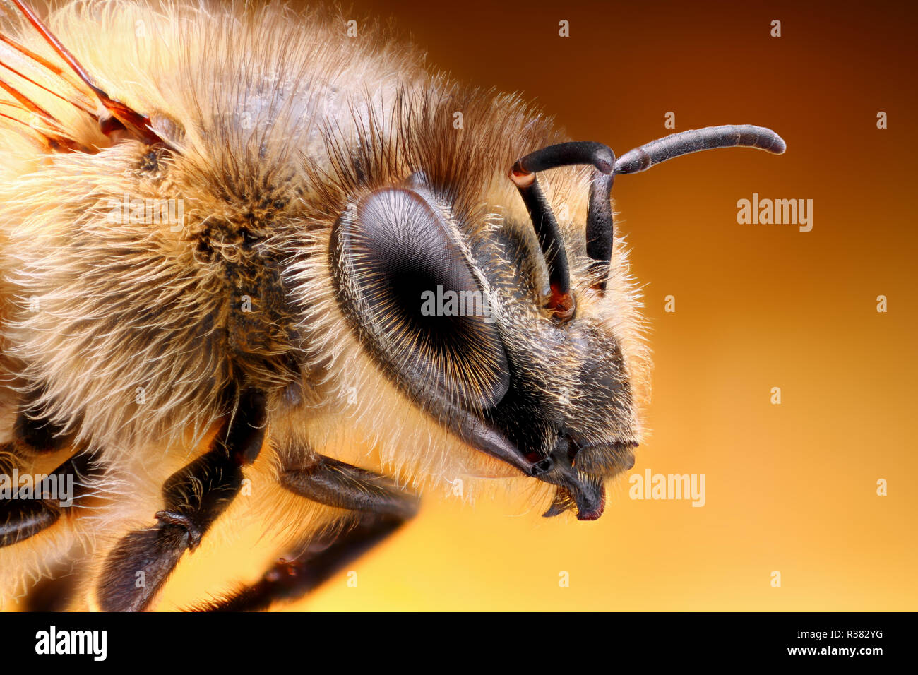 Extremely sharp and detailed study of a Bee head taken with a macro lens stacked from many images into one very sharp photo. - Stock Image