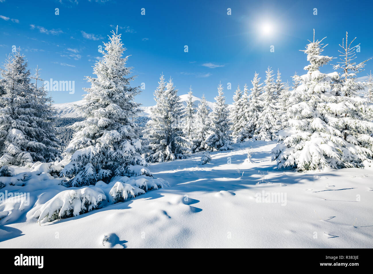 Majestic white spruces glowing by sunlight. Magic and unusual wintry scene. Location place Carpathian national park, Ukraine, Europe. Blue toning. - Stock Image
