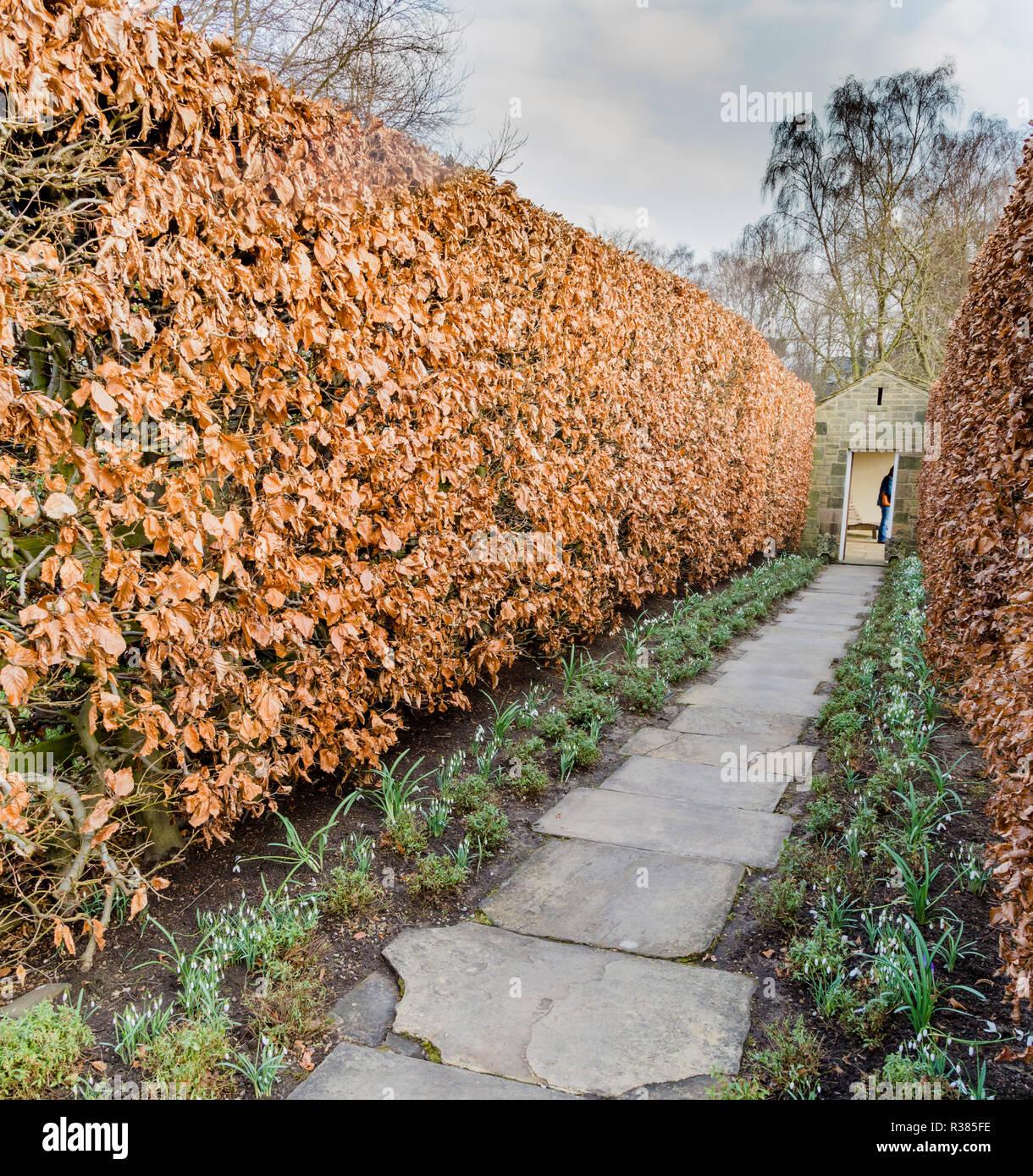 Green Beech hedges in winter at York Gate Garden, Adel, Leeds. Stock Photo