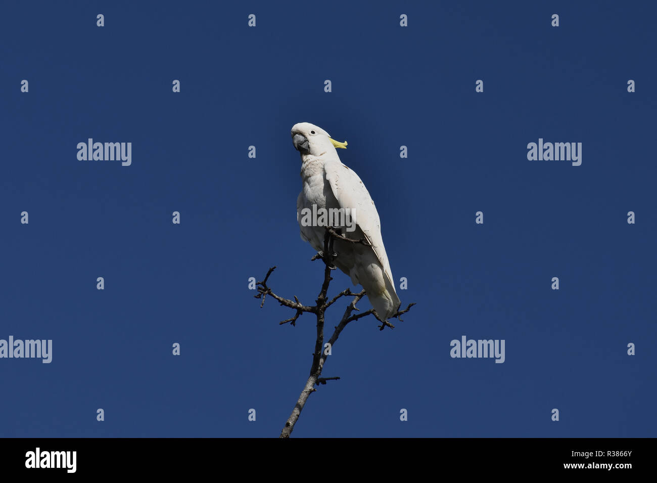 An Australian, Queensland Sulphur-crested Cockatoo ( Cacatua galerita ) perched high up on a tree - Stock Image