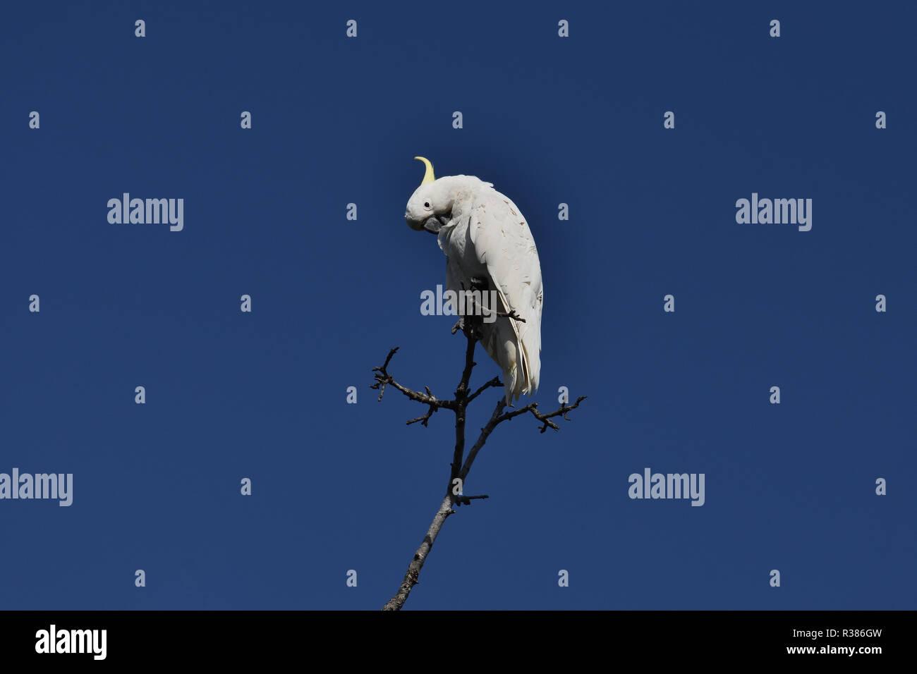 An Australian, Queensland Sulphur-crested Cockatoo ( Cacatua galerita ) perched high up on a tree preening itself - Stock Image