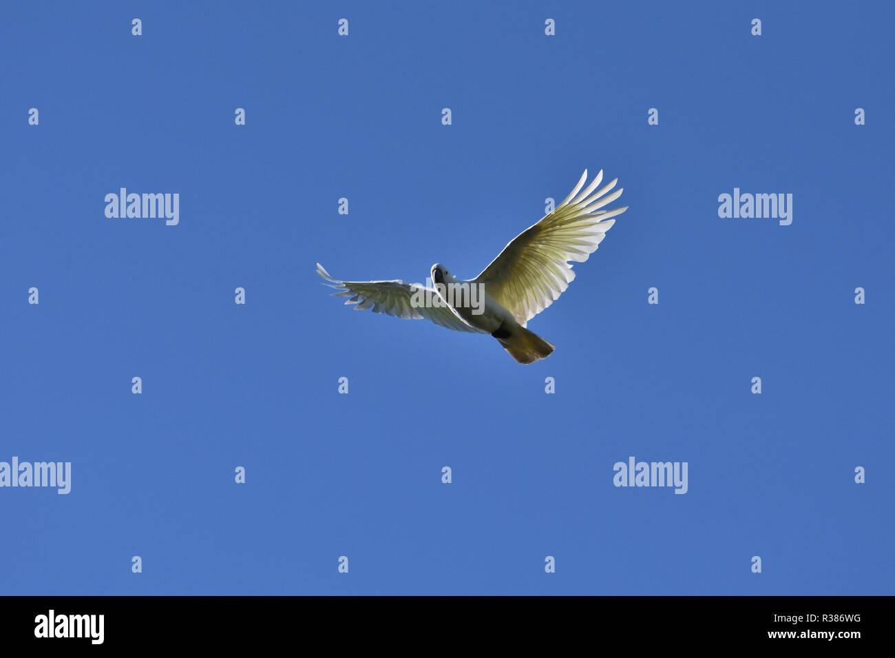 An Australian, Queensland Sulphur-crested Cockatoo ( Cacatua galerita ) flying high above - Stock Image