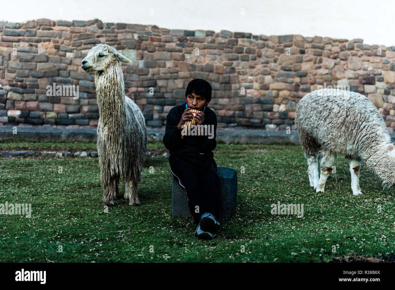 Peruvian boy sitting with llamas and  playing on the panpipe one the Cusco, Peru. - Stock Image