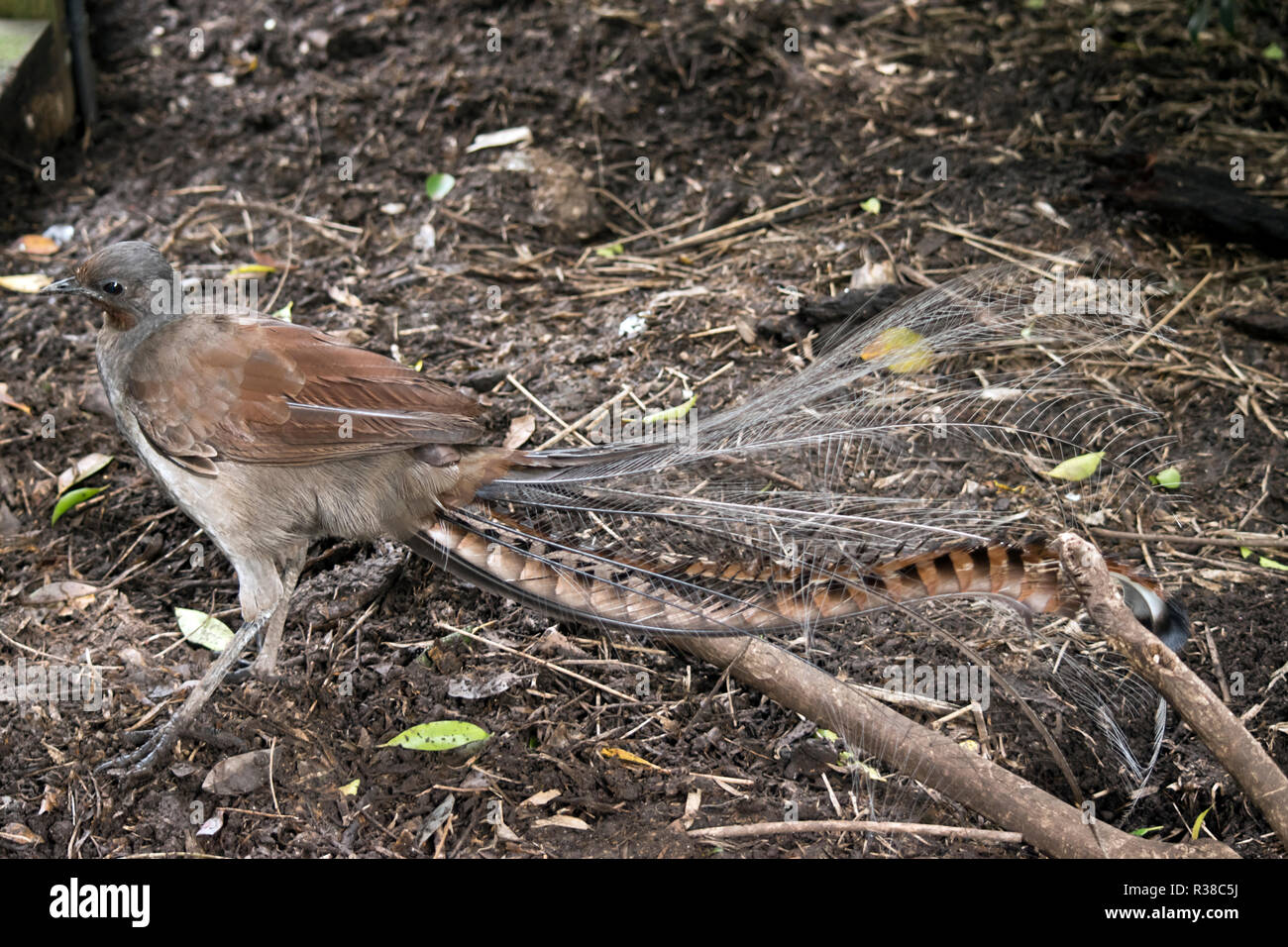 this is a side view of a lyre bird - Stock Image