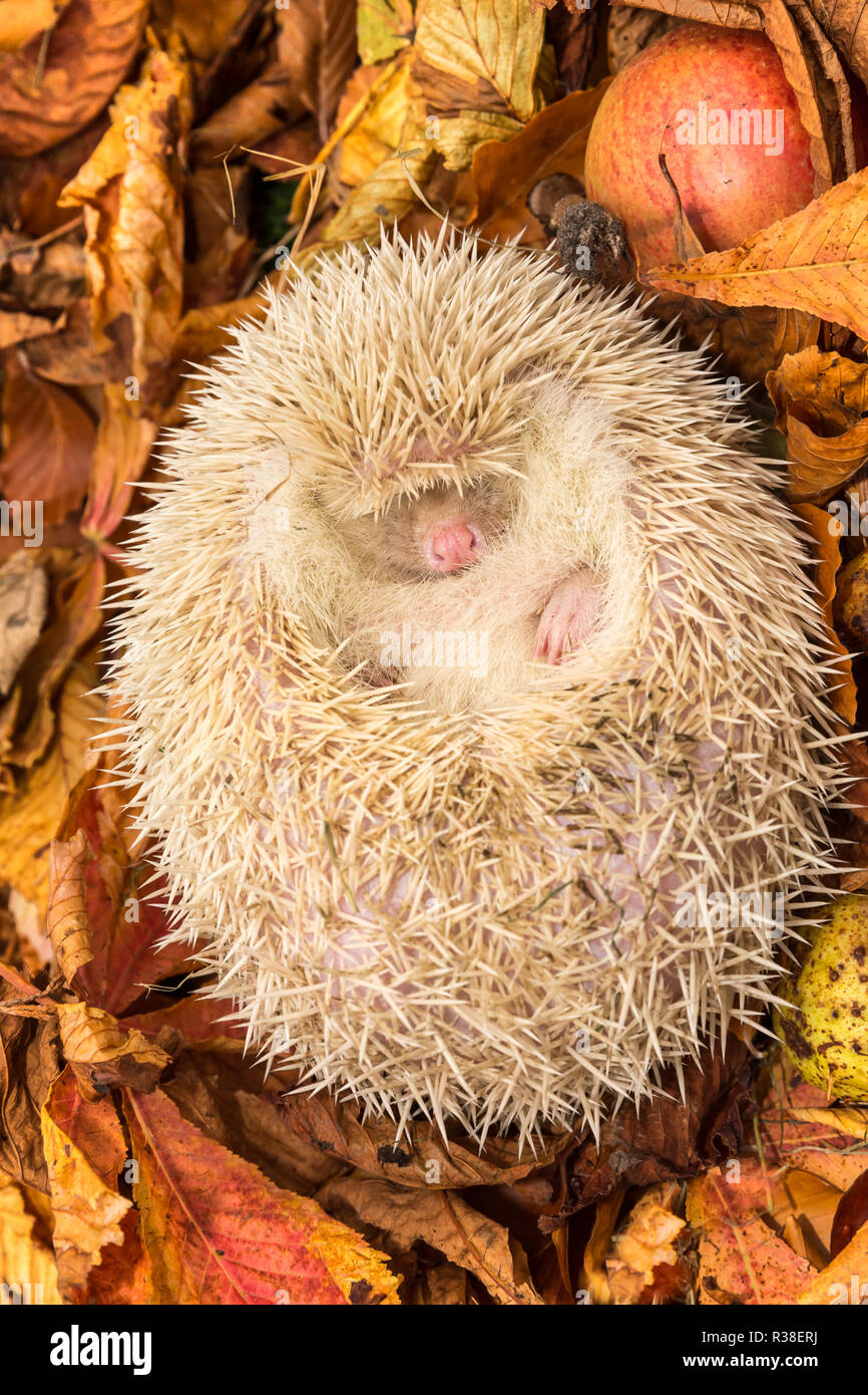 Hedgehog, wild, native, pure albino hedgehog, curled up into a ball for hibernation.  With pure white spines, pink nose, eyes and snout. Vertical - Stock Image