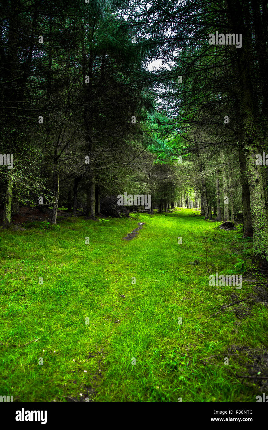 Grassy Footpath Through Mysterious Conifer Forest - Stock Image