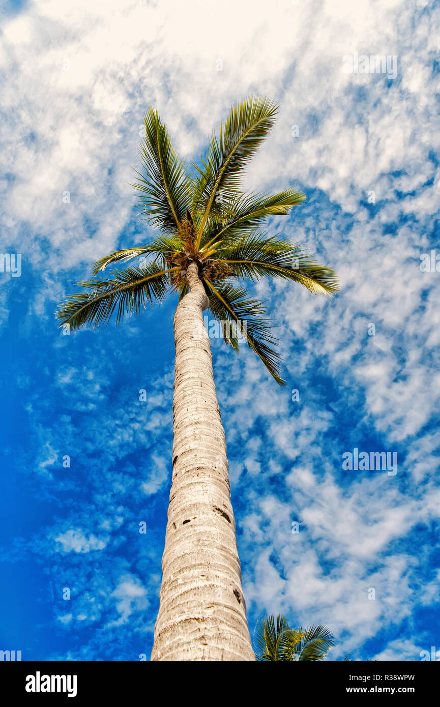 palm tree with green leaves on long trunk on cloudy blue sky background sunny summer outdoor, idyllic vacation - Stock Image