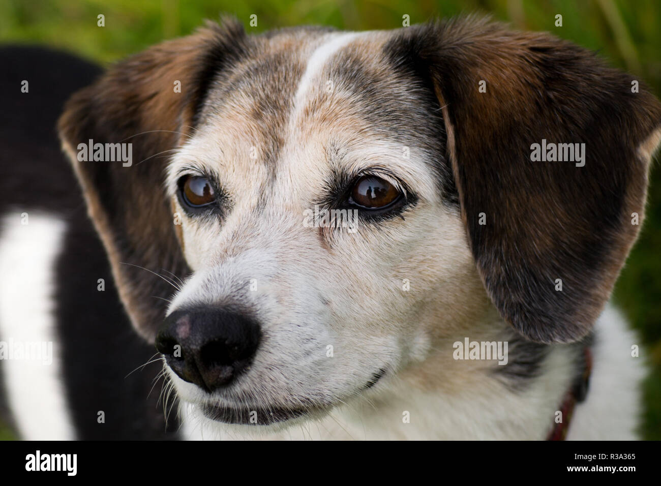 dog head Stock Photo