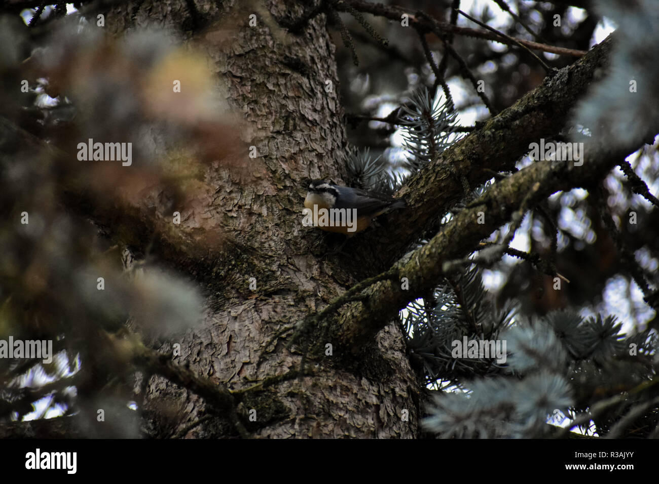 Red Breasted nuthatch in the process of storing some food in the bark of a pine tree. These are some of the smallest birds found here in Michigan. - Stock Image