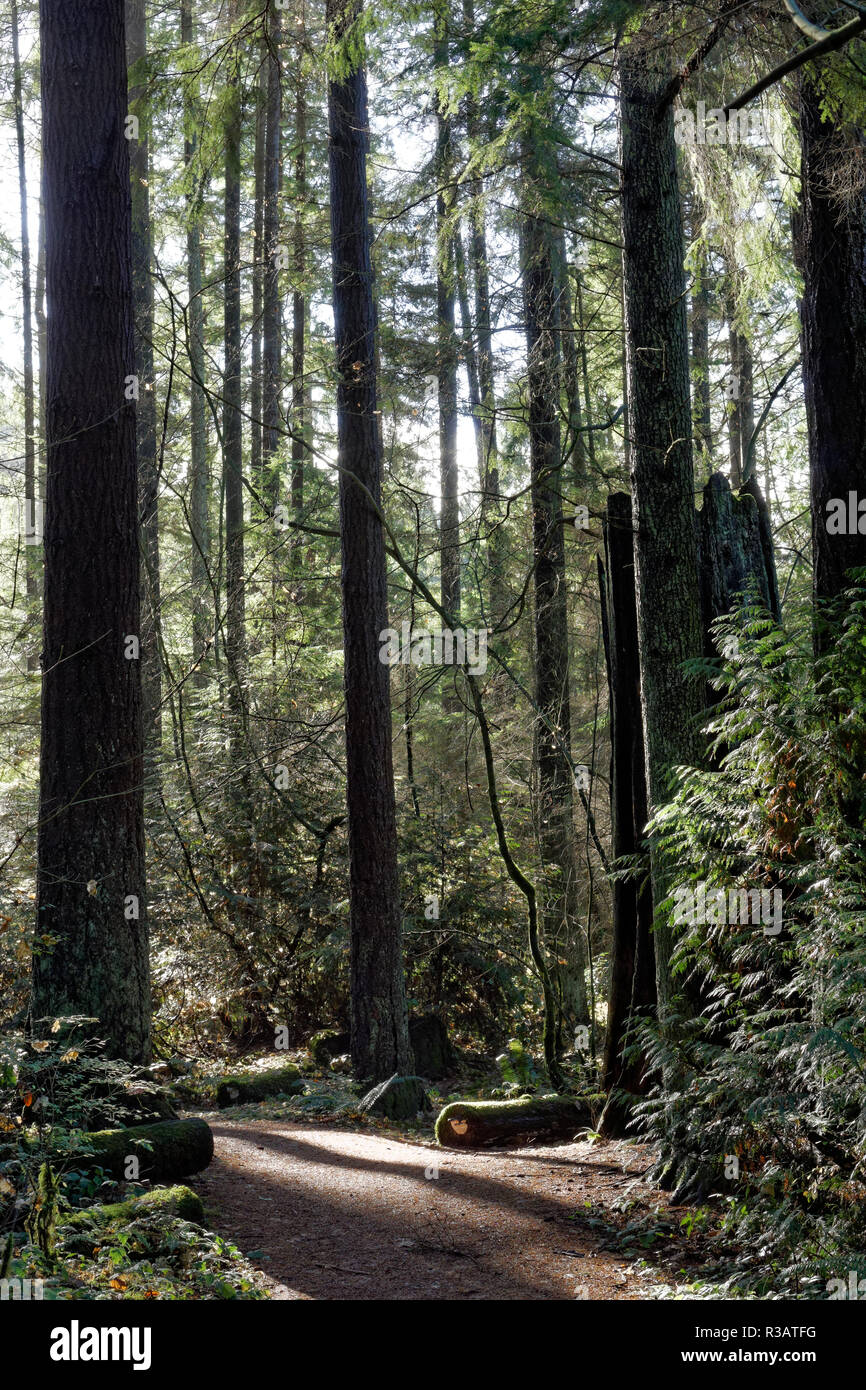 A trail winding through the temperate rain forest in Pacific Spirit Regional Park and nature preserve, Vancouver, BC, Canada - Stock Image