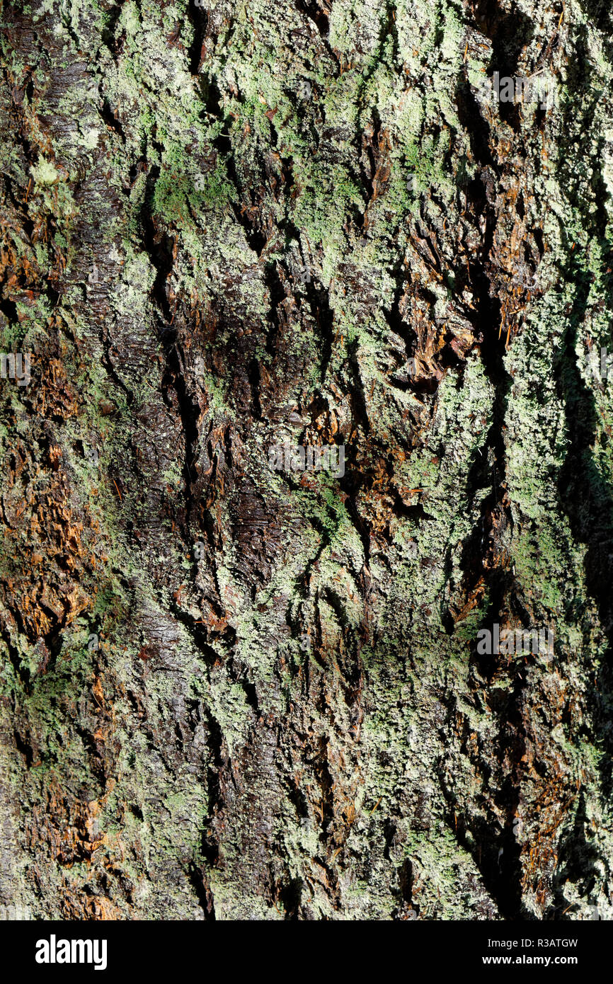 Close-up of the bark of a mature western red cedar tree Thuja plicata covered in green lichen,Pacific Spirit Regional Park, Vancouver, BC, Canada - Stock Image