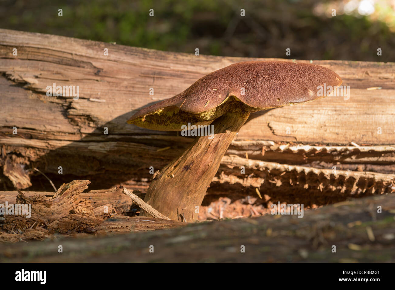 Mushroom, Selkirk Mountains, Idaho. - Stock Image