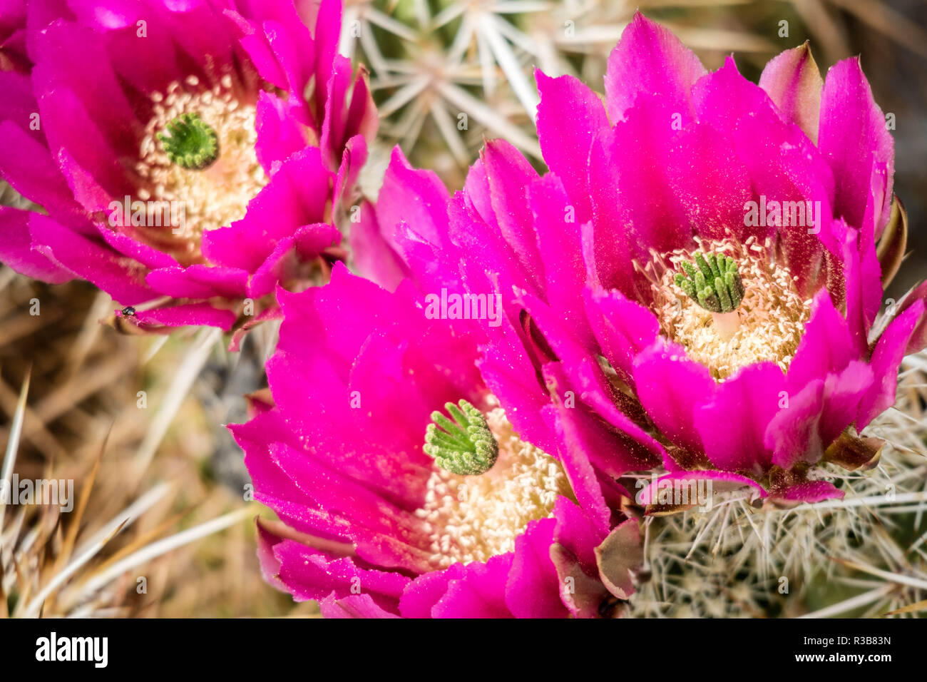A Pink Flowering Cactus Plants In Palm Spring California Stock
