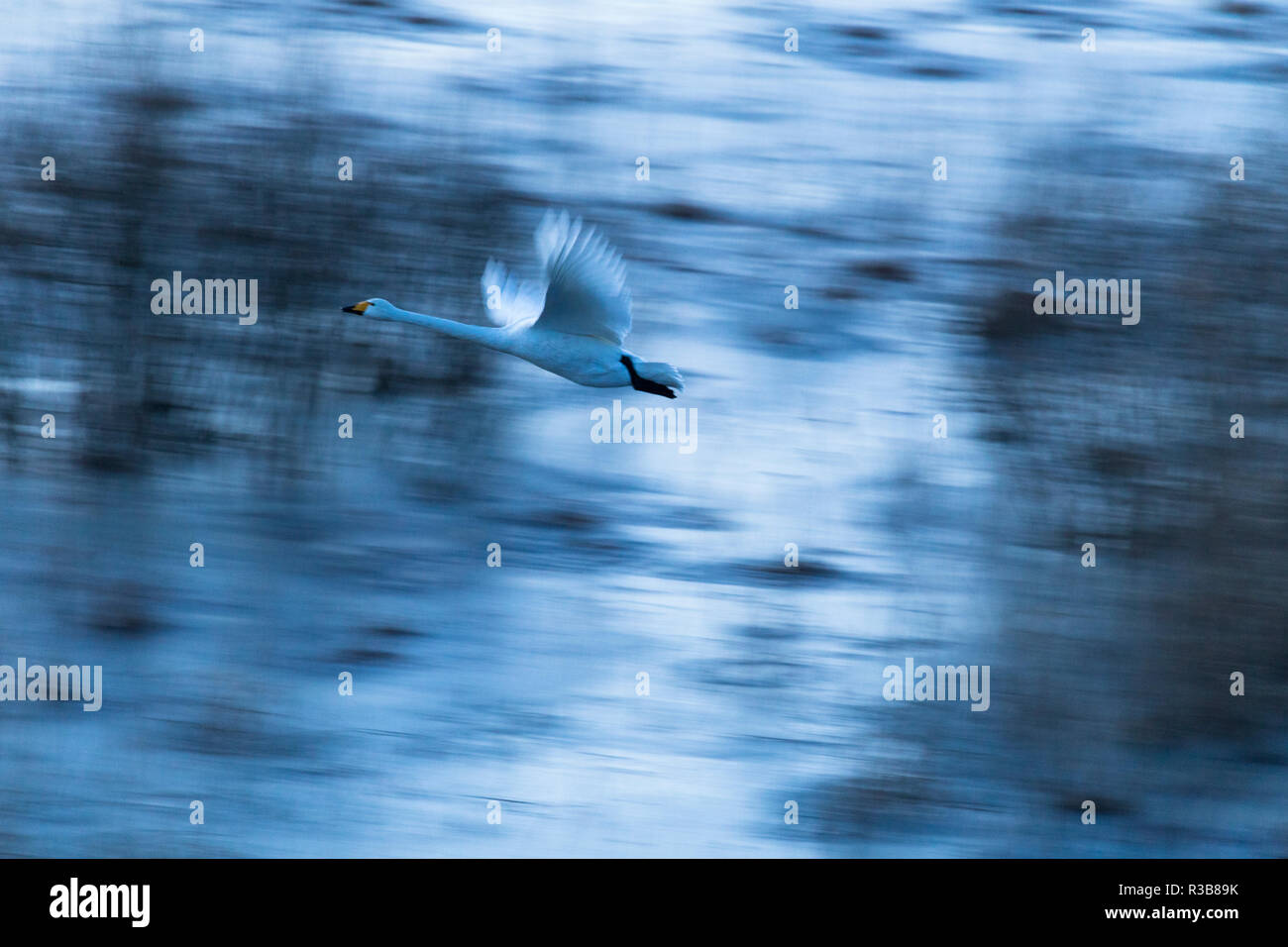 Whooper swan (Cygnus cygnus) in flight, motion blur, province Örebro län, Sweden Stock Photo