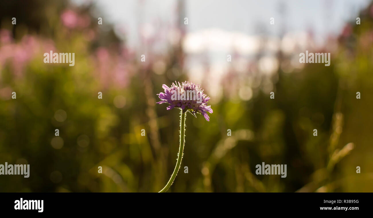 Field scabious flower (Knautia arvensis) in the meadow against the evening back sunlight. Another name for this plant is gipsy rose. - Stock Image