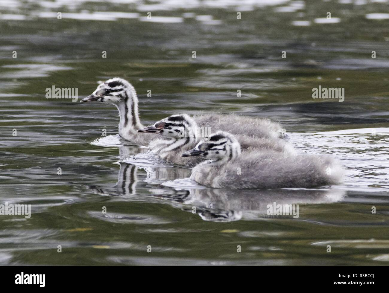 three juvenile Great Crested Grebes, october 2018 | usage worldwide - Stock Image