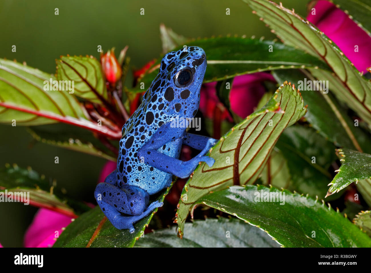 Blue Azureus Poison Dart frog, Dendrobates tinctorius azureus, native to Suriname and Brazil - Stock Image