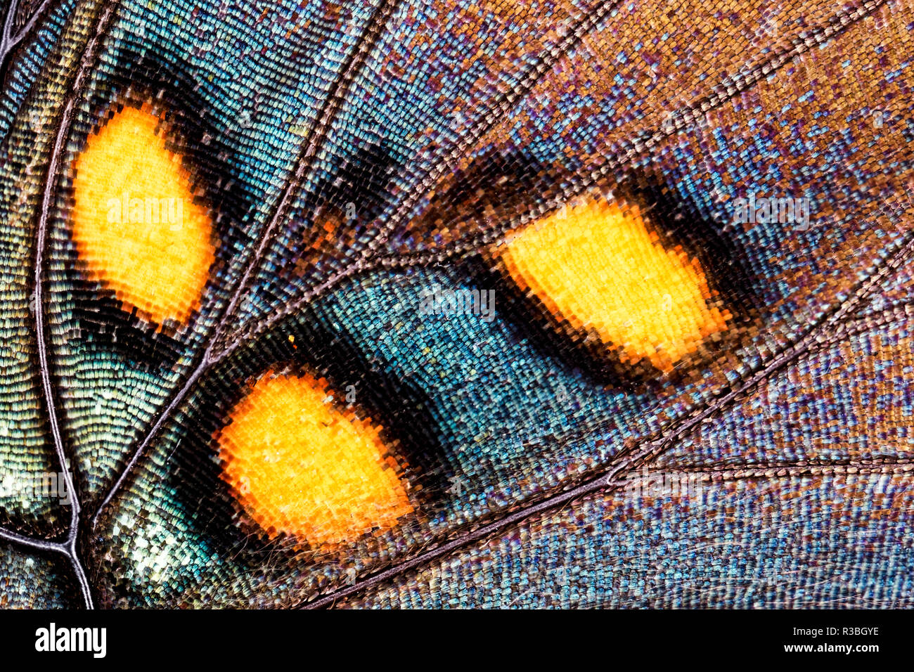 Close-up pattern, wing scales of Red Spotted Purple butterfly, Basilarchia astyanax - Stock Image