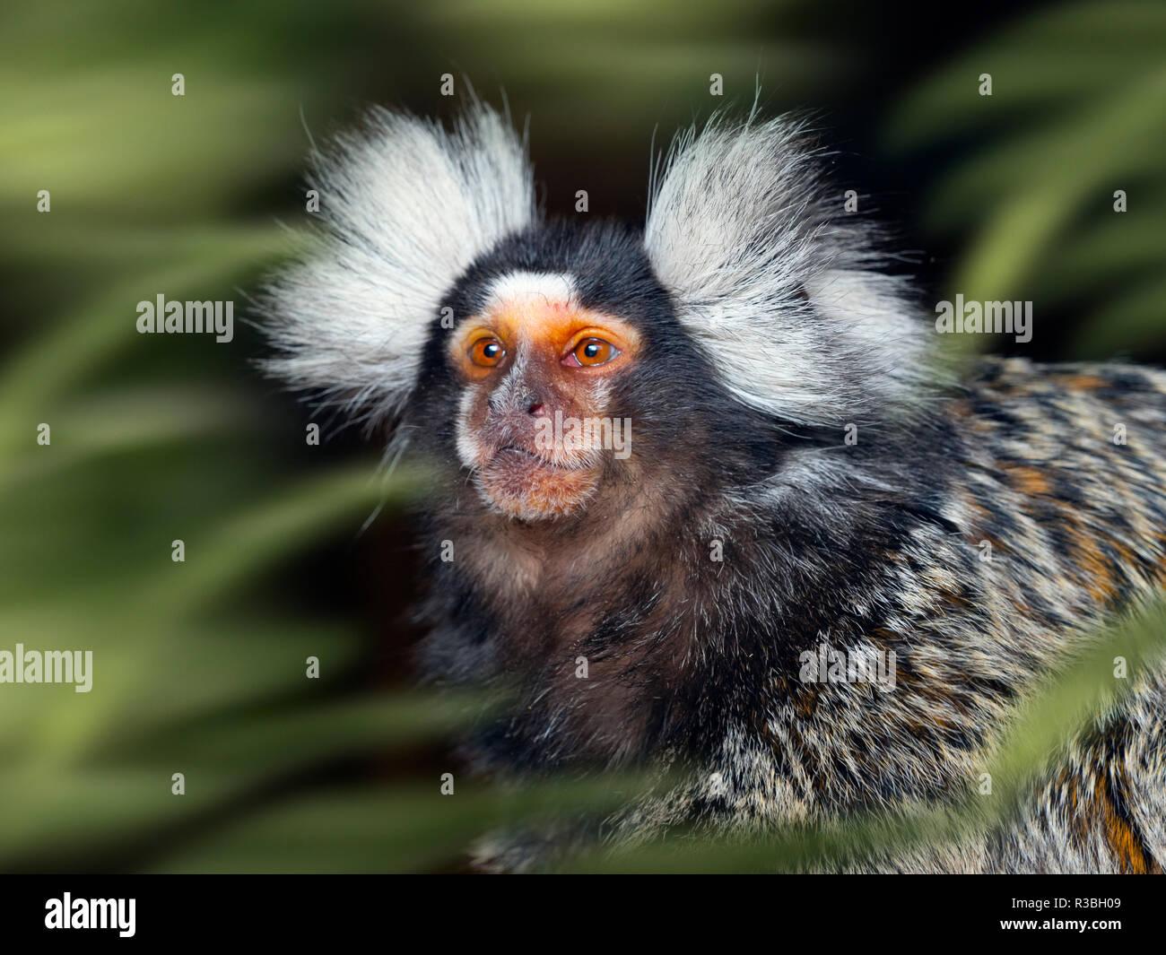 Portrait of a Common marmoset Callithrix jacchus           CAPTIVE - Stock Image