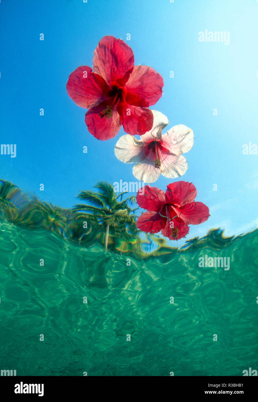 Underwater view looking up at floating hibiscus flowers in tropical water. - Stock Image