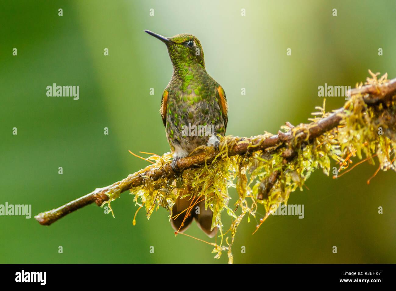 Ecuador, Tandayapa Bird Lodge. Buff-tailed coronet on limb. - Stock Image