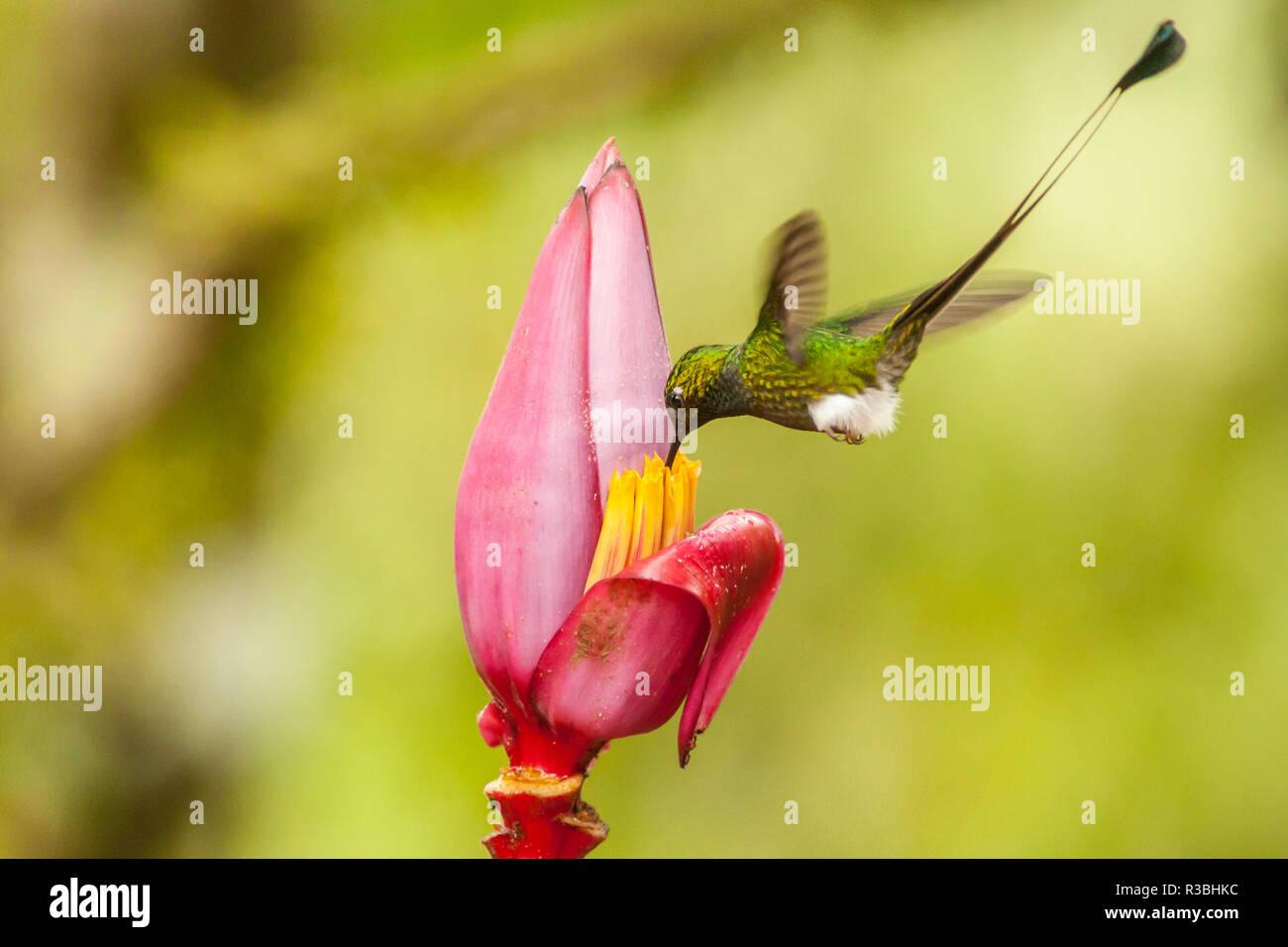 Ecuador, Tandayapa Bird Lodge. Booted racket-tail feeds on banana flower. - Stock Image