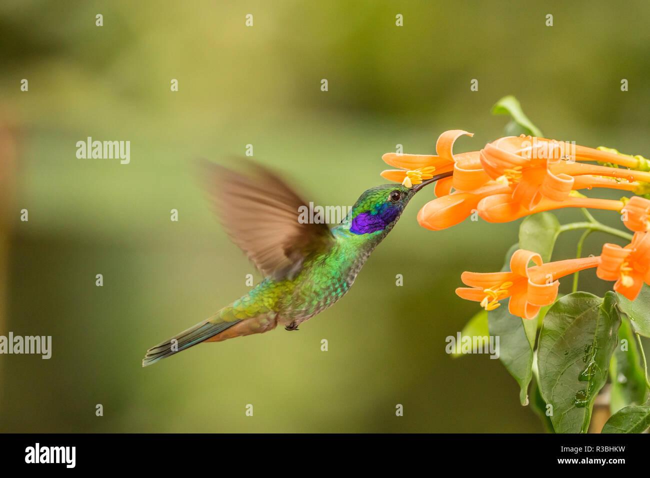 Ecuador, Tandayapa Bird Lodge. Green violetear feeds on flower. - Stock Image
