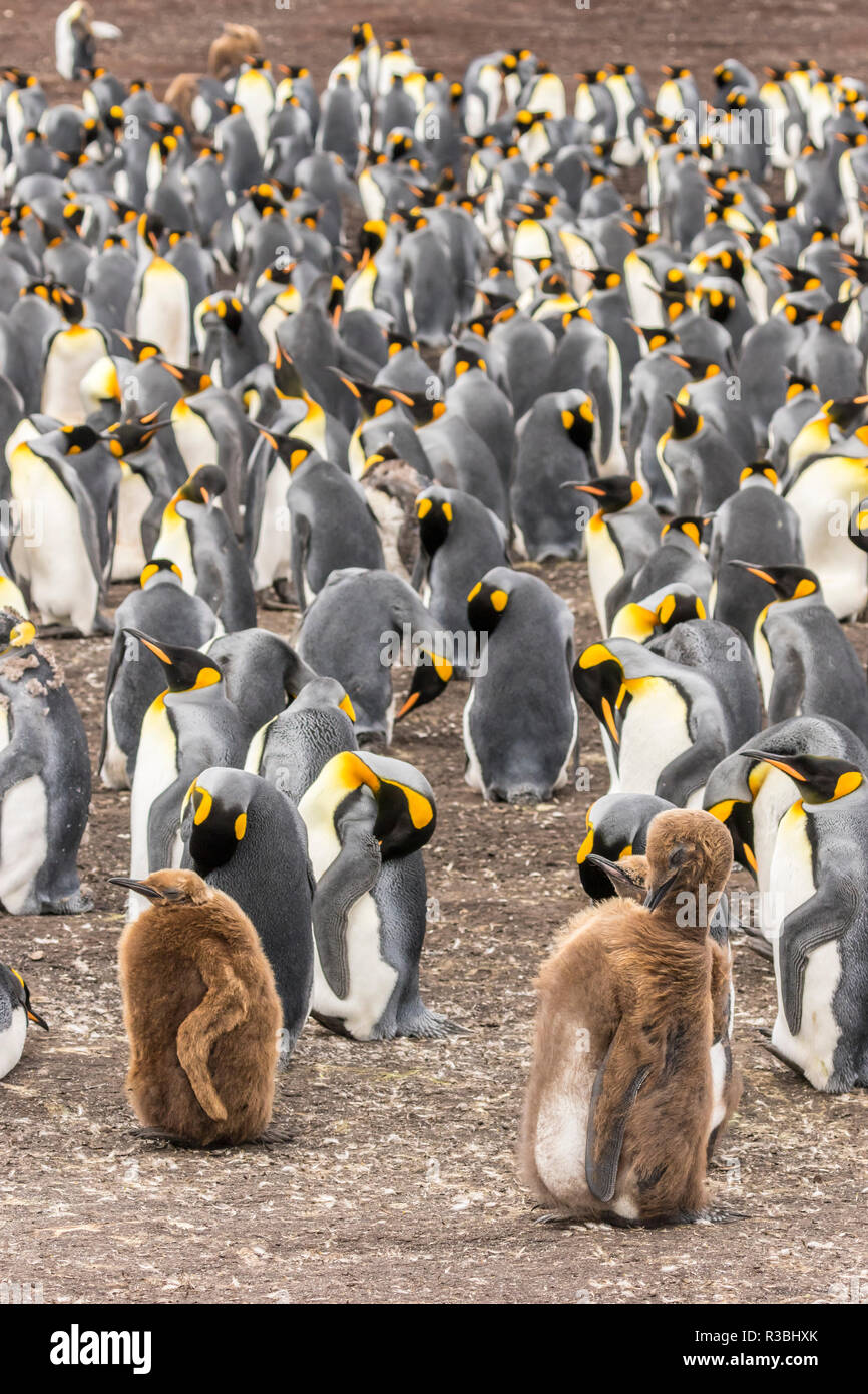 Falkland Islands, East Falkland. King penguin colony with two juveniles. - Stock Image