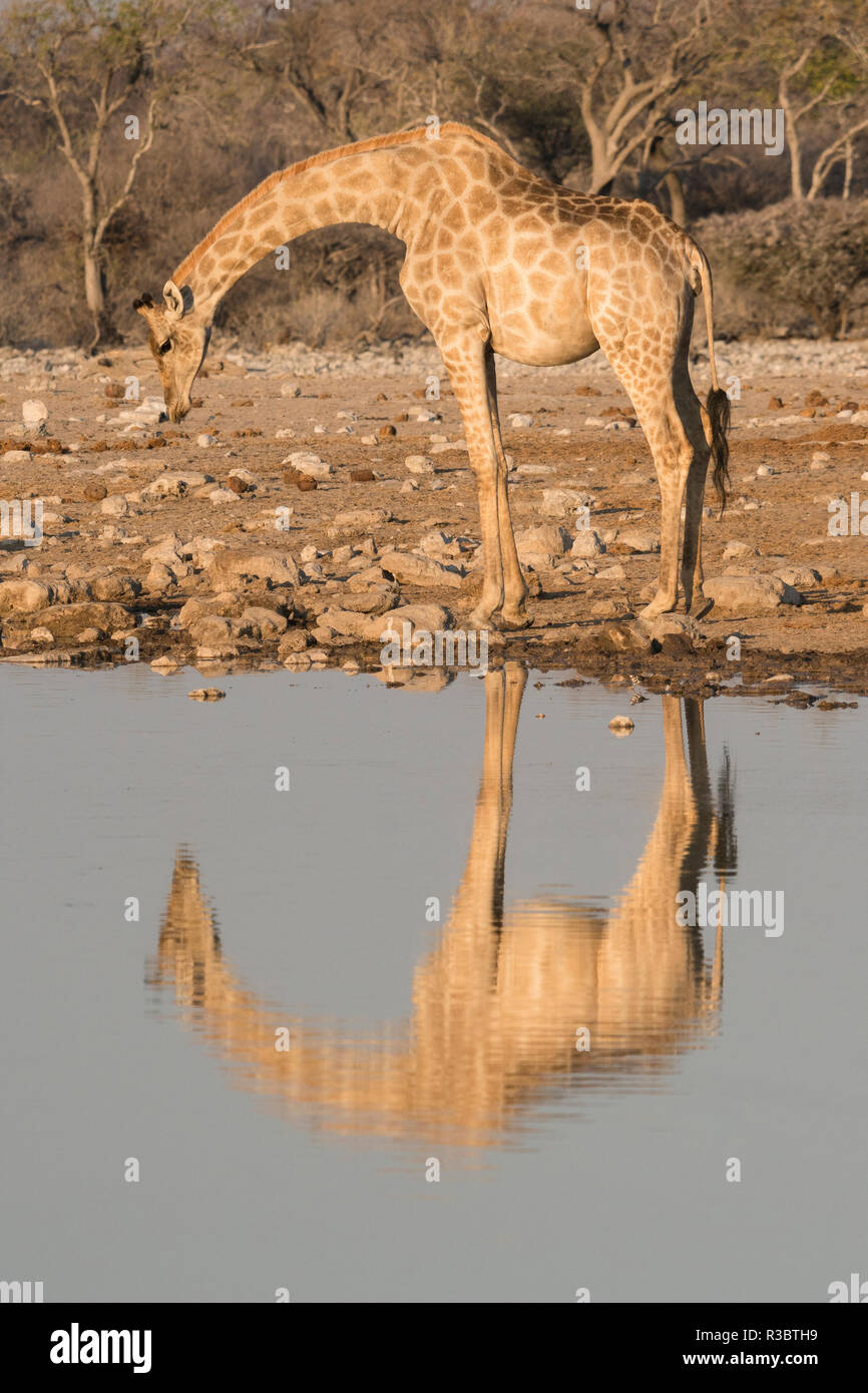 Giraffe bends over to drink at a waterhole, reflecting in the water, in Etosha National Park, Namibia. - Stock Image