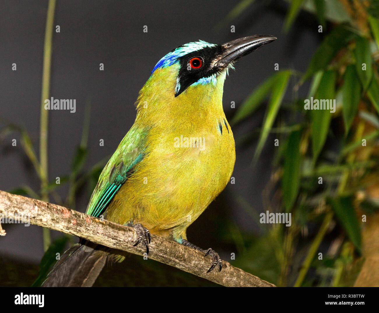 Blue-crowned Motmot (Momotus momota) is from the tropical rain forests of Central and South America. - Stock Image