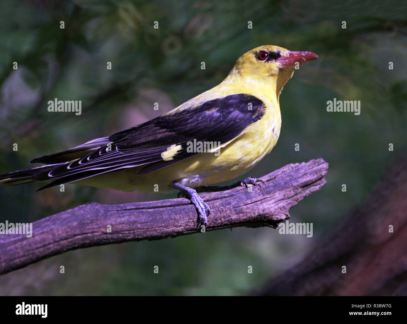 Male Golden Oriole (Oriolus oriolus).Similar in size to a European blackbird this bird in spite of its colors is difficult to see in the trees. - Stock Image