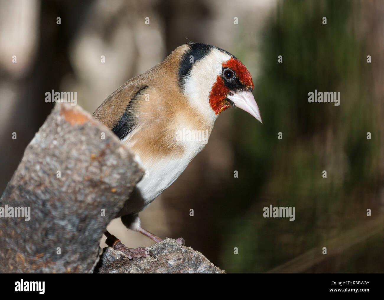 The Goldfinch (Carduelis carduelis) is one of the most attractive of all the resident birds of Britain. - Stock Image