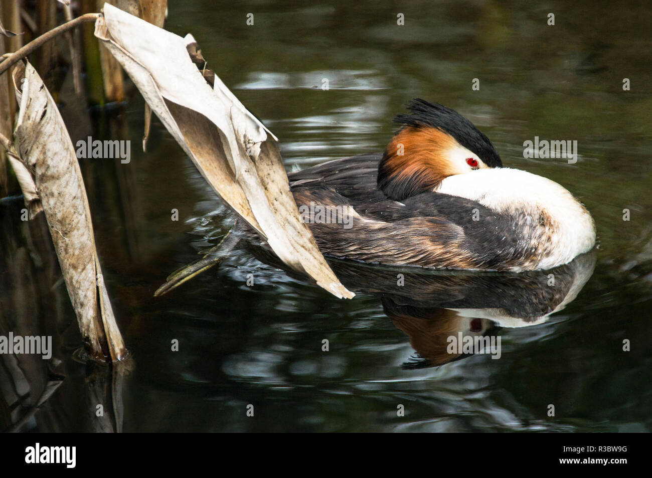 Great Crested Grebe (Podiceps cristatus) in summer plumage. - Stock Image
