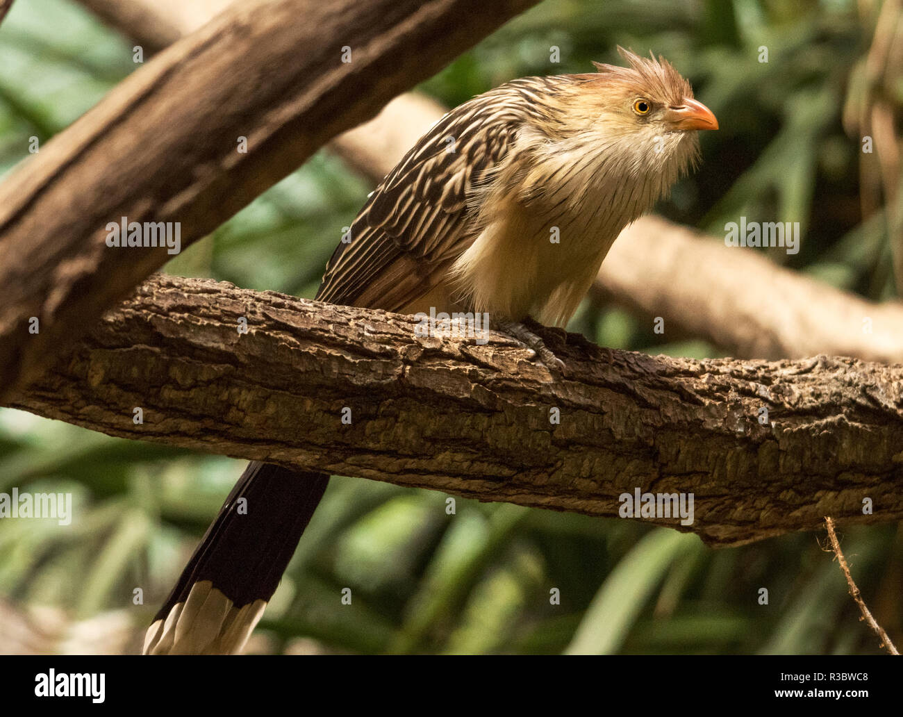 The Guira Cuckoo (Guira guira) is a native of South America.This bird was  photographed in captivity - Stock Image